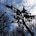Picture Title - mistletoe