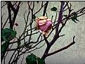 Picture Title - valentine rose