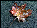 Picture Title - the stained leaf