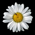 Picture Title - The Detailed Daisy