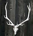Picture Title - Elk Antler