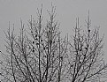 Picture Title - Finches in a Tree