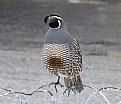 Picture Title - Male Quail