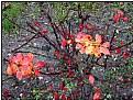 Picture Title - redberry bush