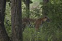 Picture Title - tigress