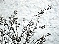 Picture Title - snow blooms