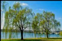 Picture Title - Weeping Willow