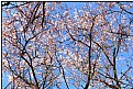 Picture Title - spring blossoms