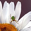 Picture Title - Green Spider