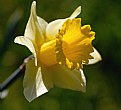 Picture Title - Narcissus