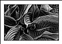 Picture Title - Hosta Series #1