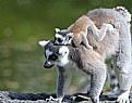 Picture Title - Lemurs