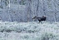 Picture Title - Moose in the thickets