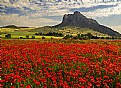 Picture Title -  Poppies