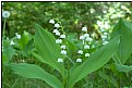 Picture Title - lily of the valley