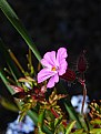 Picture Title - Pink Flower