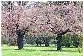 Picture Title - japanese cherries