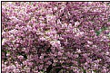 Picture Title - sakura in prague