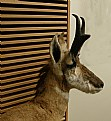 Picture Title - Pronghorn