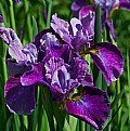 Picture Title - iris delight