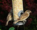 Picture Title - Two Sparrows