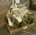 Picture Title - Wolf