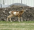 Picture Title - Muley Fawn