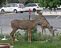 Picture Title - Muley Bucks