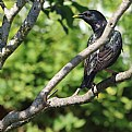 Picture Title - Starling