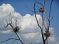 Picture Title - Heron Nests