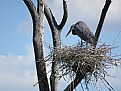 Picture Title - Heron on Nest