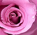 Picture Title - the Rose