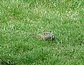 Picture Title - White Crowned Sparrow