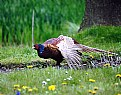 Picture Title - Pheasant