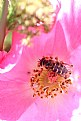 Picture Title - Rose and Hoverfly
