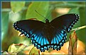 Picture Title - Red Spotted Purple Butterfly