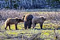 Picture Title - Grand Teton Gizzly and her 2 Cub