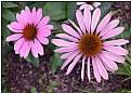 Picture Title - echinaceae