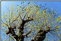 Picture Title - springbloom trees
