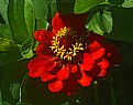 Picture Title - shy zinnia
