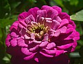 Picture Title - zinnia pink