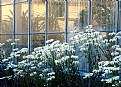 Picture Title - Daisies at Deepwood