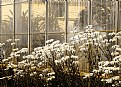 Picture Title - Daisies at Deepwood tan