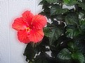 Picture Title - Red Hibiscus