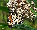 Picture Title - monarch's delight