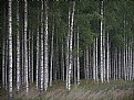 Picture Title - birch forest