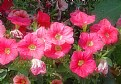 Picture Title - Pink Petunias