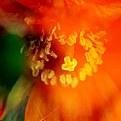 Picture Title - Orange Poppy