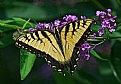 Picture Title - yellow swallowtail and its bush