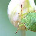 Picture Title - Shield Bug